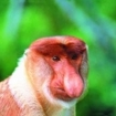 The Klias River Proboscis Monkey Cruise in Sabah