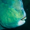 Bumphead parrotfish frequent the reefs