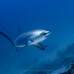 Lucky divers might spot a thresher shark