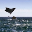 Breaching mobula rays in the Sea of Cortez