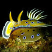 A beautiful nudibranch in the Red Sea