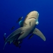 Oceanic whitetip reef sharks can be seen in Sudan