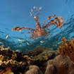 A lionfish hovers over the reef in Cairns