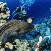 A scuba diver watches a giant moray eel in the Red Sea