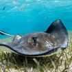 A stingray at Hol Chan Marine Reserve, Belize
