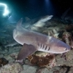 Night dive with the whitetip reef shark at Cocos Island
