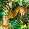 Thorny seahorse hanging on the reef in Maluku