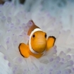 Scuba diving with clownfish