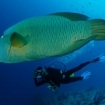 Diving with Napoleon wrasse in the Far North of the Maldives