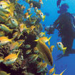 Diving with yellowfin goatfish at Bougainville