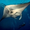 Scuba diving with manta rays at Daedalus Reef, Egypt
