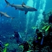 Sharks at Osprey Reef, Australia