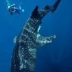 Diver with a whale shark in Cenderawasih Bay, Indonesia
