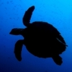 Silhouette of a turtle in the Maldives