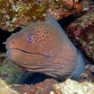 A giant moray eel, Daedalus Reef, Egypt