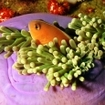 An anemonefish in a purple magnificent anemone, southern Thailand