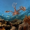 A lionfish hovers over the coral reef in Cairns, Australia