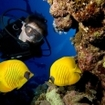 A scuba diver watches 2 masked butterflyfish
