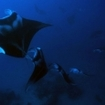 Manta rays at the Maldives Southern Atolls