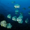 A school of batfish in the Mergui Archipelago
