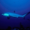 Thresher sharks can sometimes be seen at the Brothers
