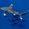 An oceanic whitetip shark and pilotfish at the Brothers, Egypt