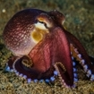 Octopus are common creatures on the reefs of Bangka