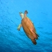 A turtle heads to the Banda Sea surface for a breather