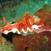 A colourful nudibranch found in Nusa Laut, Indonesia