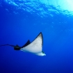 Eagle ray in the Visayas