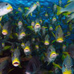 Schooling sweetlips, Great Barrier Reef
