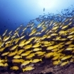 Schooling snappers at Thailand's Koh Bon Island