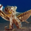 An octopus scuttles across the Flores Sea bed with a shell