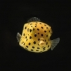 Juvenile boxfish are found in Wakatobi