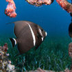 French angelfish at Turneffe Atoll, Belize