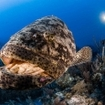 A scuba diver photographs a goliath grouper in Cuba