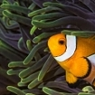 A clownfish in a magnificent anemone the Similans