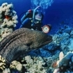 A scuba diver and giant moray eel in Sudan's Red Sea