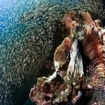 Huge lionfish and glassfish at the Kingcruiser Wreck