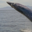 Breaching Bryde's whales and humpbacks in season as a great bonus