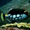 Clown triggerfish in the Maldives