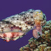 Australia's dive sites are home to cuttlefish