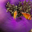 Australia's Great Barrier Reef has many species of anemonefish