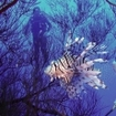 A diver watches a lionfish in the Red Sea