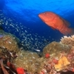 A coral trout swims over a Sumbawa reef