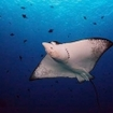 An eagle ray in Palau waters