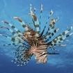 Red lionfish, Pterois volitans, in Fiji