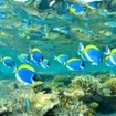 A school of powder blue surgeonfish at North Male