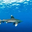 An oceanic white tip shark approaches at Elphinstone, in the Red Sea