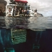 Great white shark cage diving in Mexico